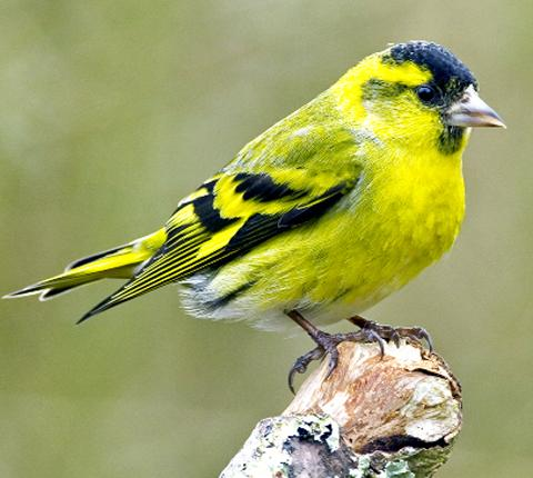 The Advertiser Series: STOLEN SISKIN: A bird like one of those stolen from Byers Green