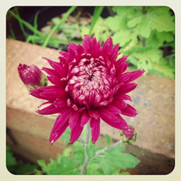 The Advertiser Series: Advice to gardeners as chrysanthemums and dahlias prepare t