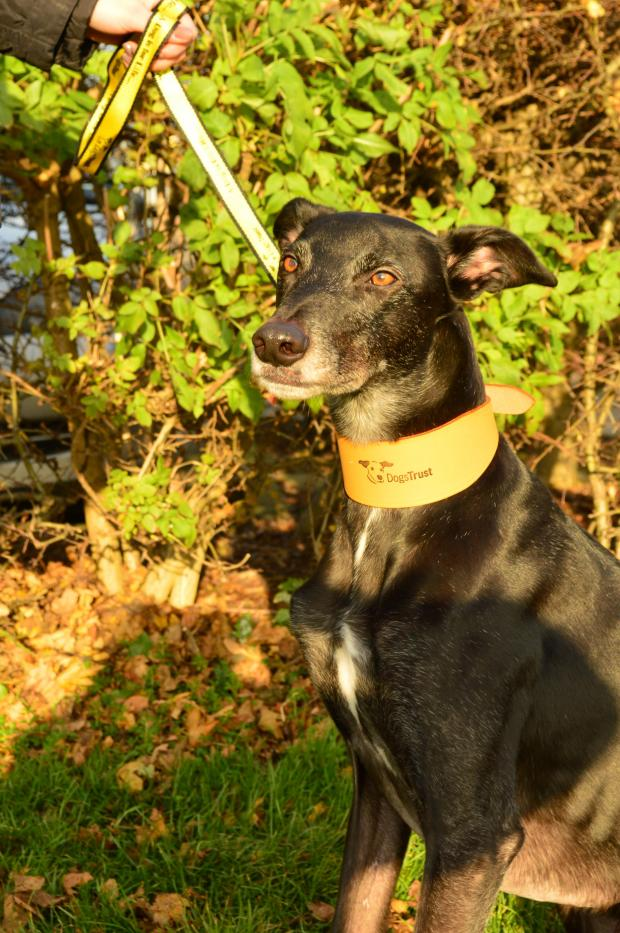 The Advertiser Series: Jed the lurcher who needs a new home