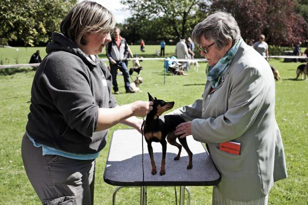 The Advertiser Series: DOG DAYS: Judge Margaret Robson examines a miniature doberman at the companion dog show in Hurwort